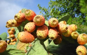 prickly-pear-494578_1280